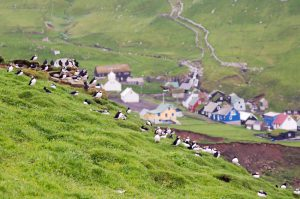 """Puffins in front of the tiny village of Mykines on Mykines Island, a remote island and bird watcher paradise. Faero Islands, Denmark."""